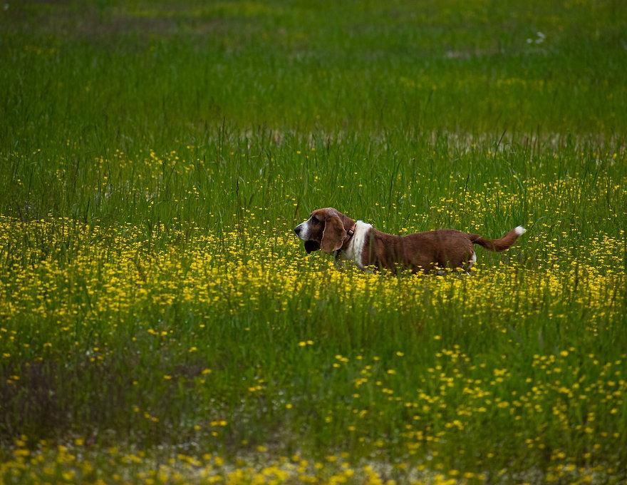 Dog_Exploring_field_by_Sherry_Roberts_edited.jpg
