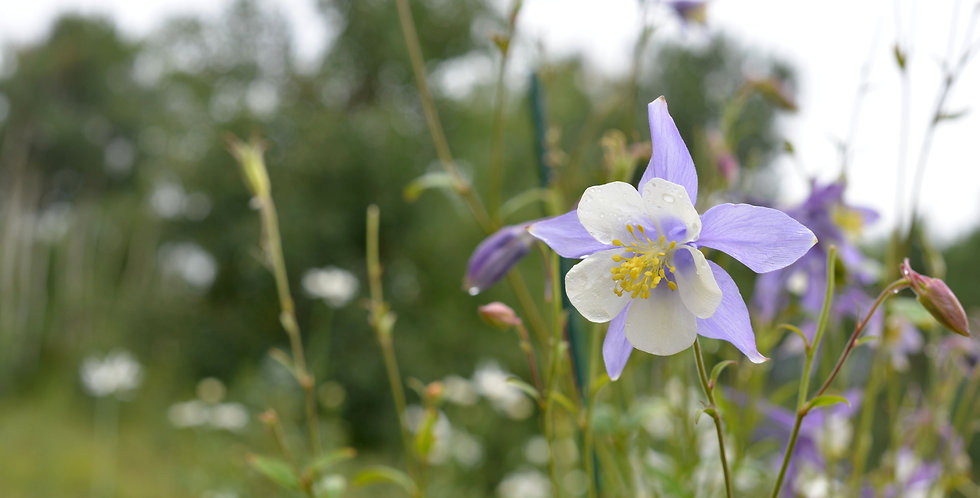 """Columbine And Raindrops"""