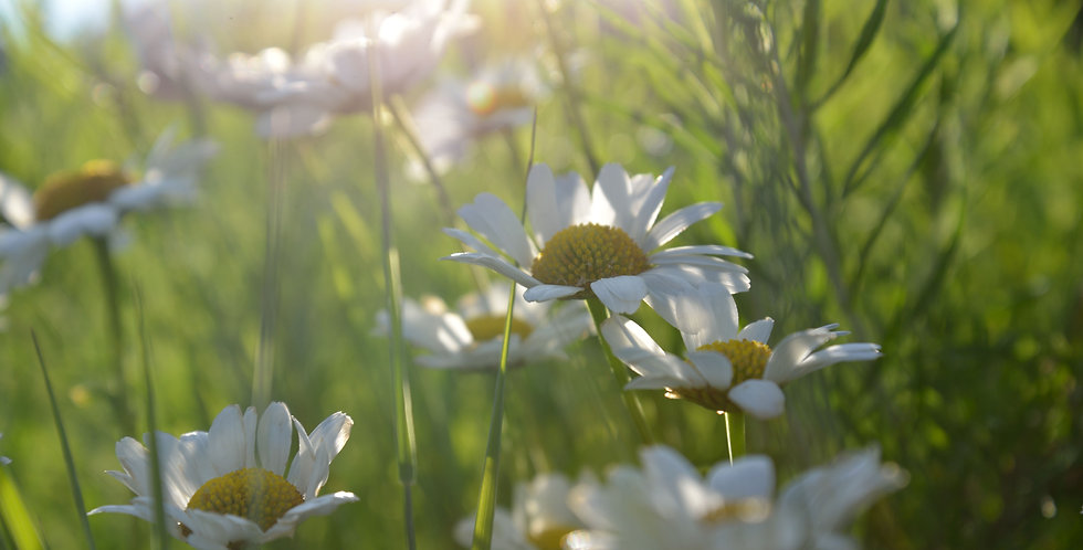 """Soft Light Daisies"""