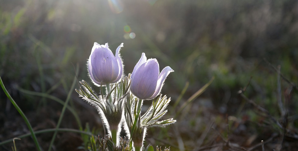 """Twin Pasque Flower"""
