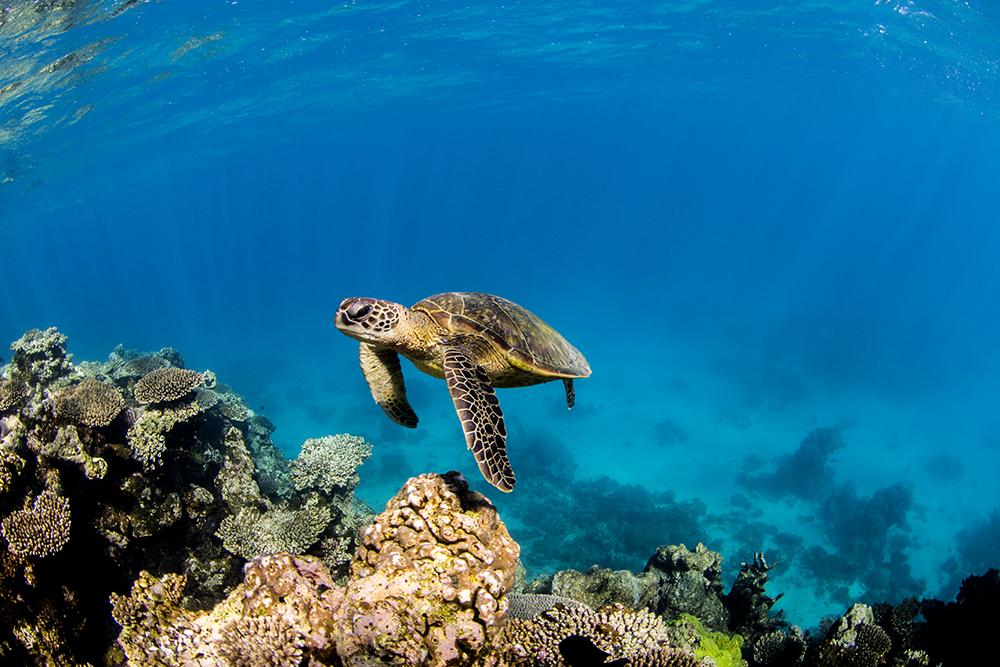 Green Turtle coming from Drop-Off
