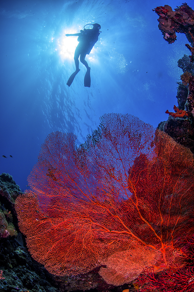 coral fan and diver