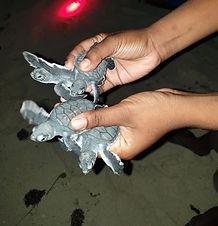 turtle hatchlings conservation png