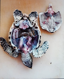 turtle dissection, to locate and identify the sex and gonads of a deceased turtle