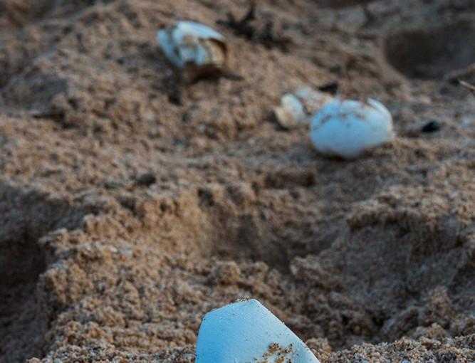 eaten turtle eggs