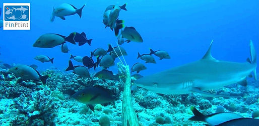 Grey reef shark seen on BRUV footage taken at the Conflict Islands