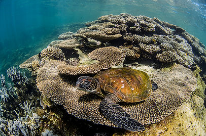 Juvenile green turtle feeding amongst the corals