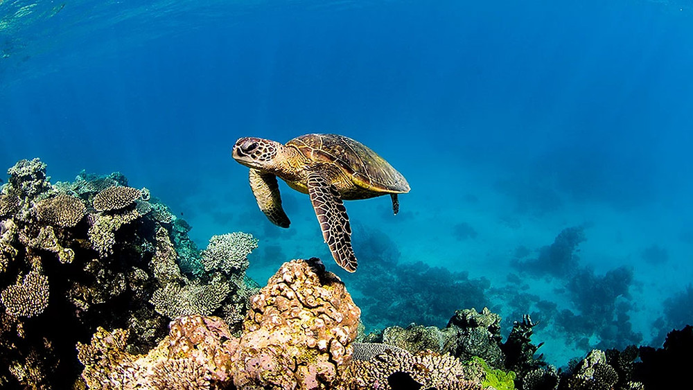 A green turtle swimming in freedom