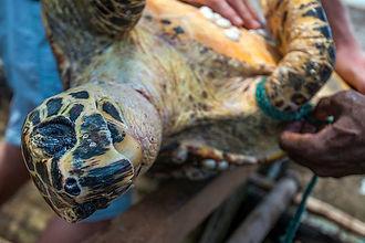A hawksbill turtle captured by fisherman