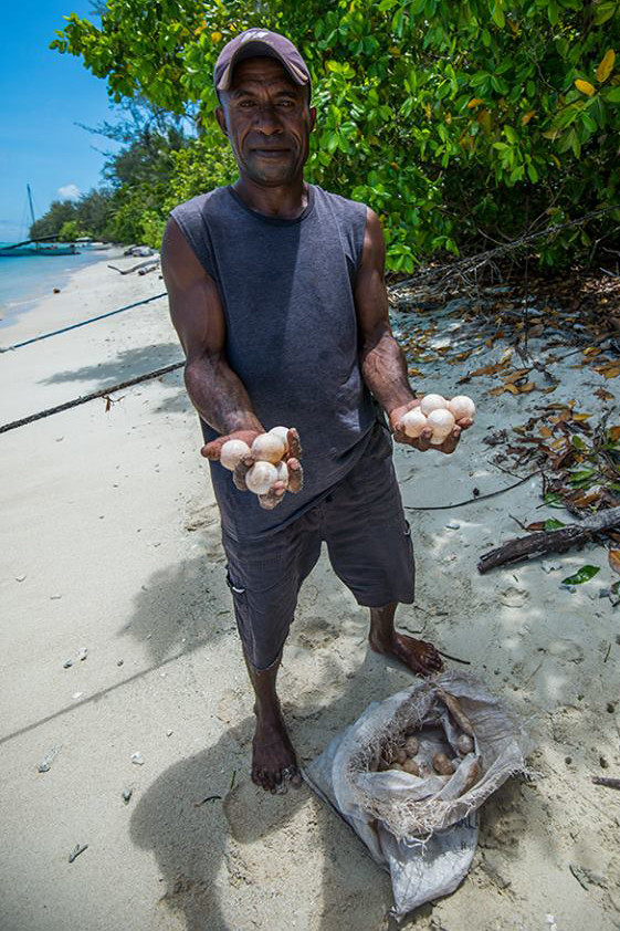 turtle eggs being harvested