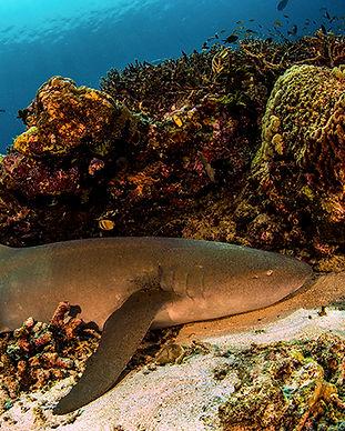 Copy of Large Tawny Nurse Shark.jpg