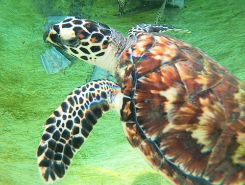 Baby Hawksbill turtle in its tank