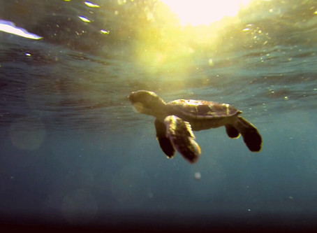 Things to consider when releasing baby sea turtles