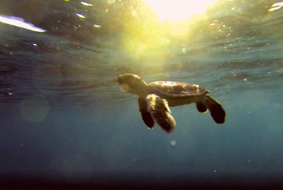 First baby turtle released