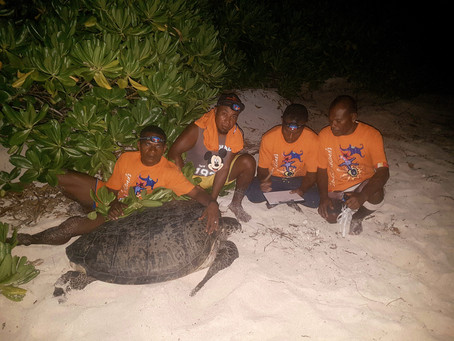 Turtle Tagging and Conservation at the Conflict Islands