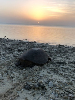 New research shows seawater irrigation could help reverse male sea turtle drought