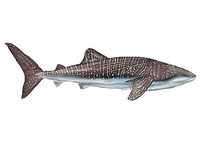 whale shark.jpg