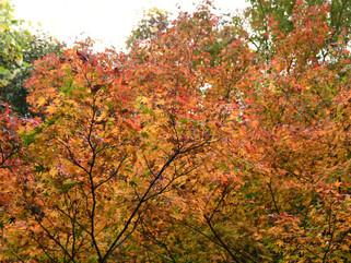 紅葉が見頃です