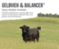 Digital Ad Gelbvieh & Balancer Bull-01.j