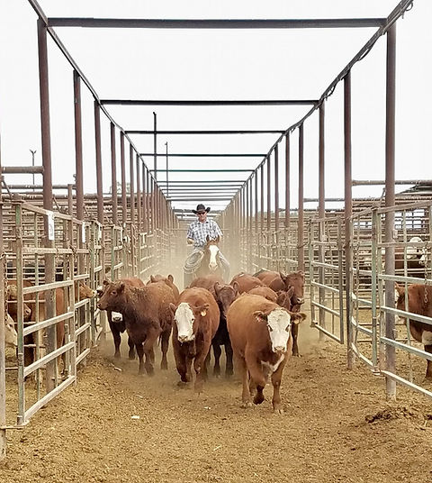 Clay Parsons Moving Cattle