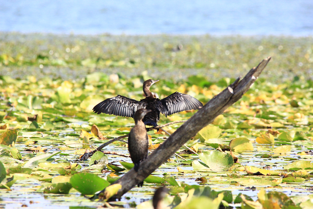 Cormorant at Skadar lake