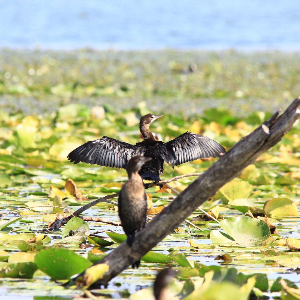 Small Cormorant.JPG