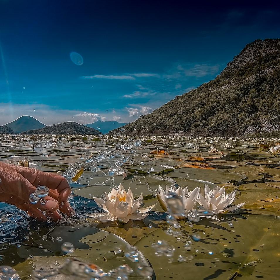 Water lilies Lotos.jpg
