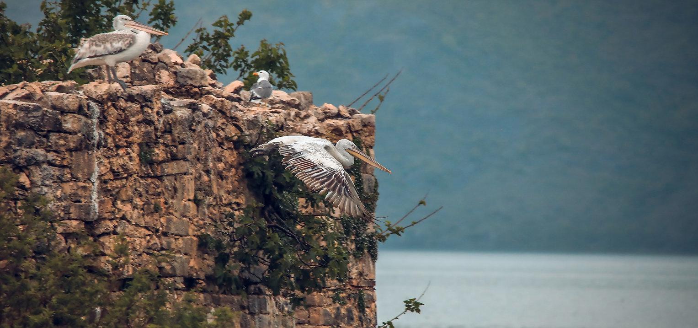 Pelican at Skadar lake