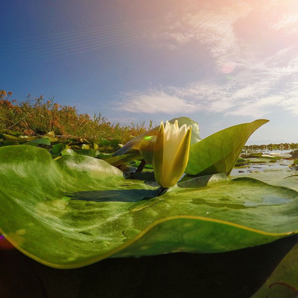 Water lily LOTOS.JPG