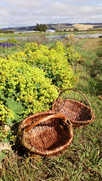 Willow Gathering Baskets and Herbalism at Meadowsweet Organic Farm