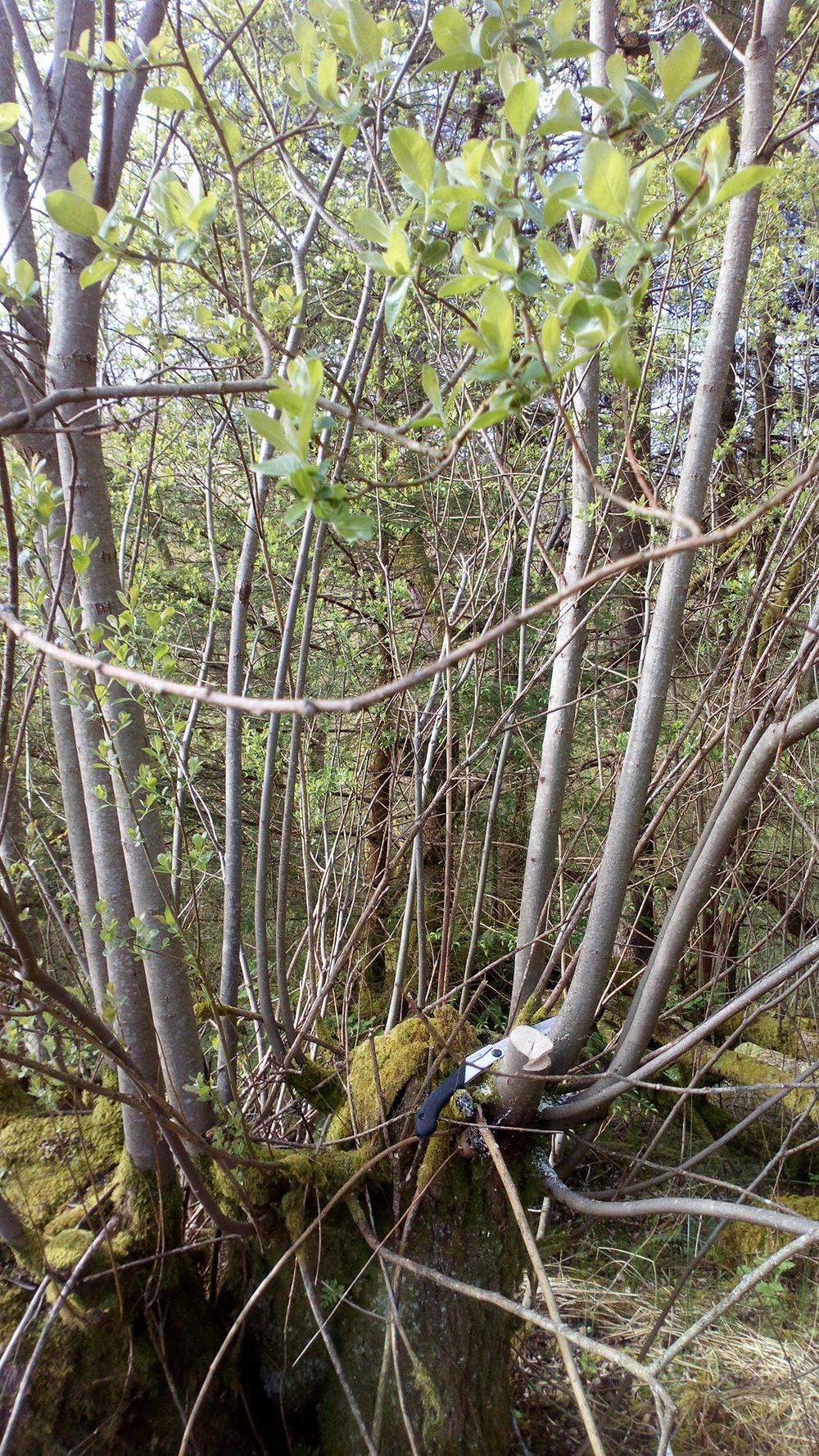 A low pollarded tree