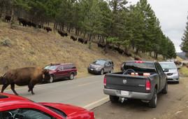 migrating bison