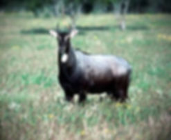 South_Texas_Nilgai_Antelope_400x328_edit