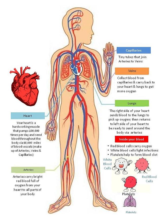 heart circulatory system.jpg
