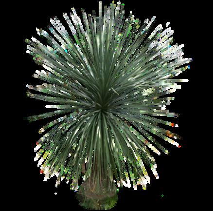 palmponytailnolina.png