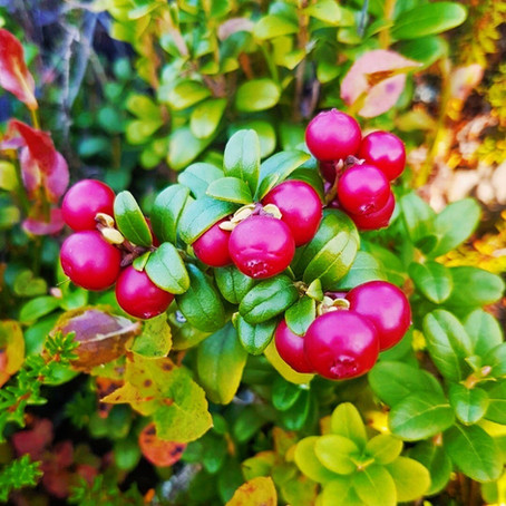 Lingonberry surprised researchers!