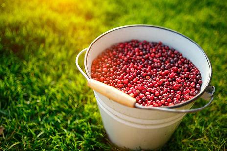 Cowberries-497421512_2125x1416.jpeg