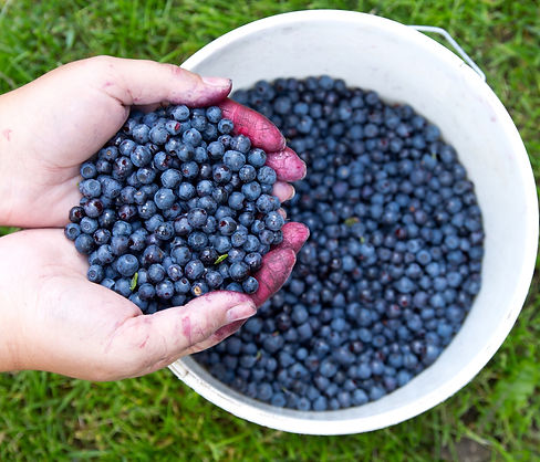 Fresh-blueberries-in-woman's-hands-after