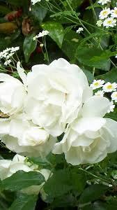 Beyaz Gül Reikisi (1 Uyumlama)