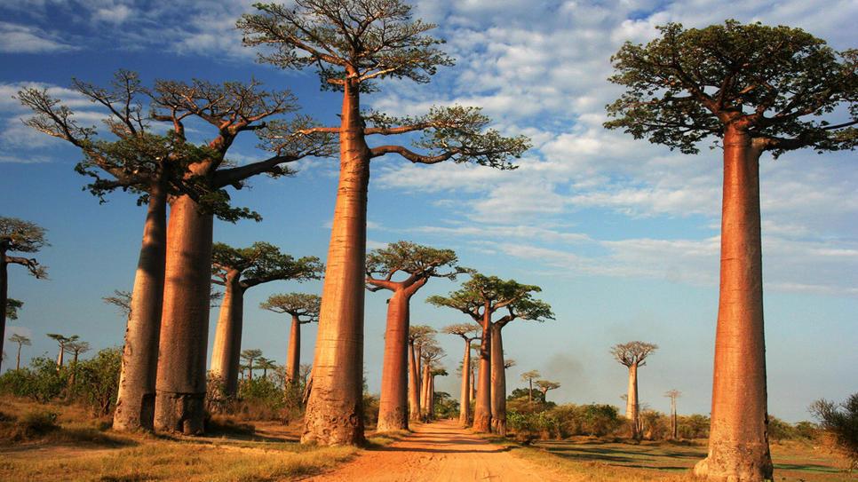 Afrika Baobab Enerjisi (1 Uyumlama)