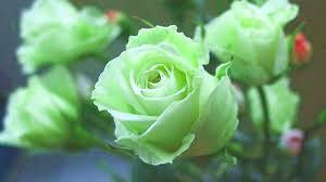 Yeşil Gül Reikisi (1 Uyumlama)