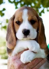 Köpek Kalp Atış Enerjisi (1 Uyumlama)