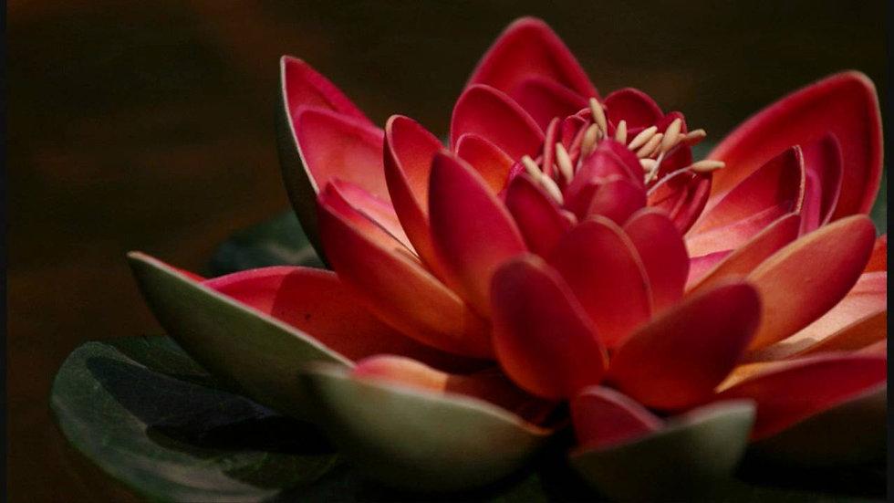 Kırmızı Lotus Özü (1 Uyumlama)
