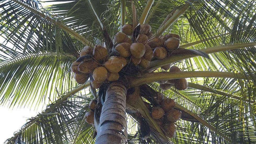 Karayip Hindistancevizi (1 Uyumlama)