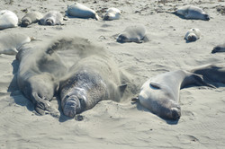 Elephant Seals, 2017