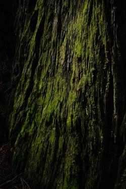 Moss on Redwood, 2021