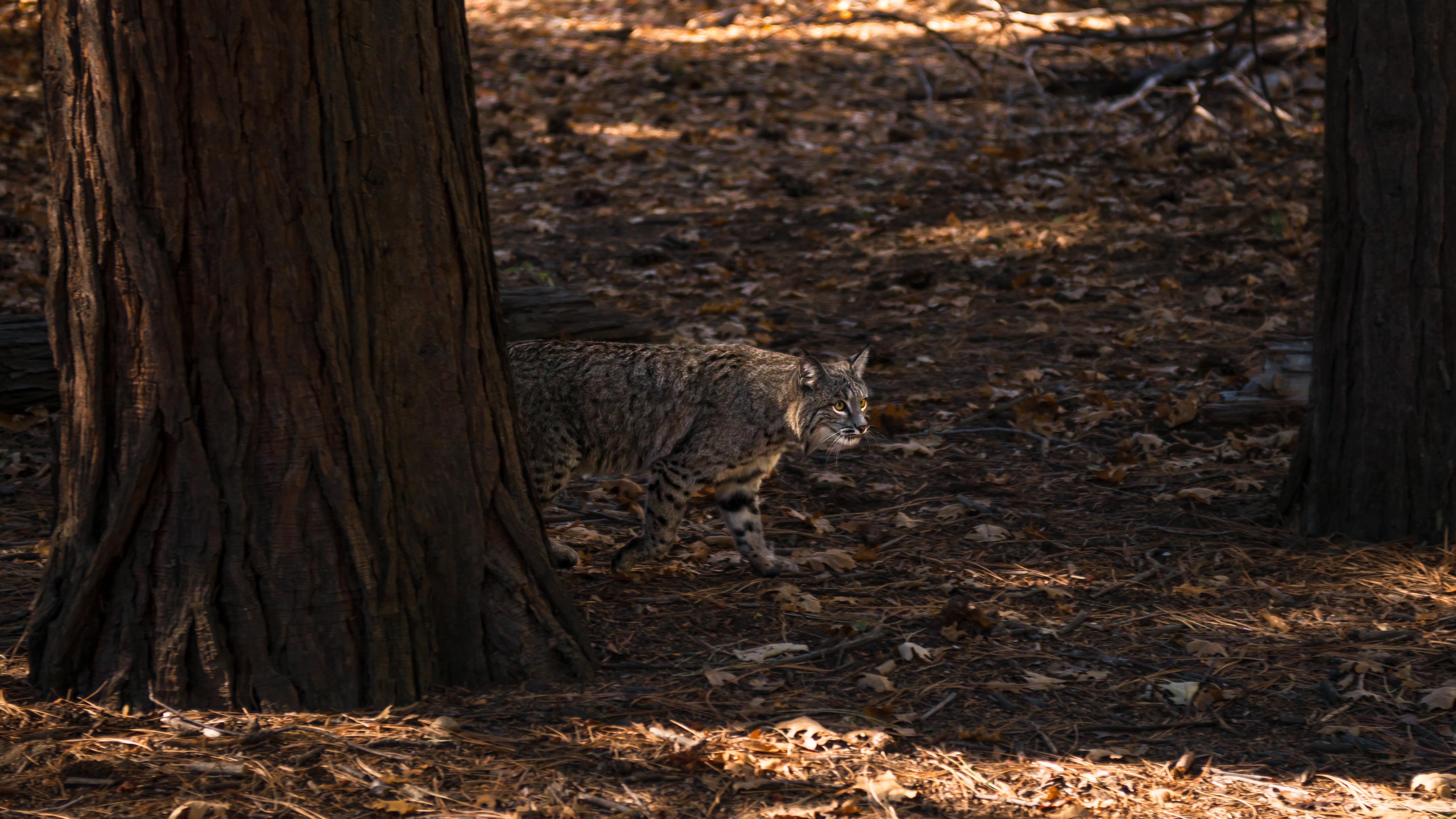 Bobcat, 2014