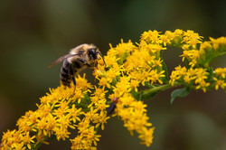Bee and Goldenrod, 2020
