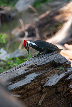 Pileated Woodpecker, 2019