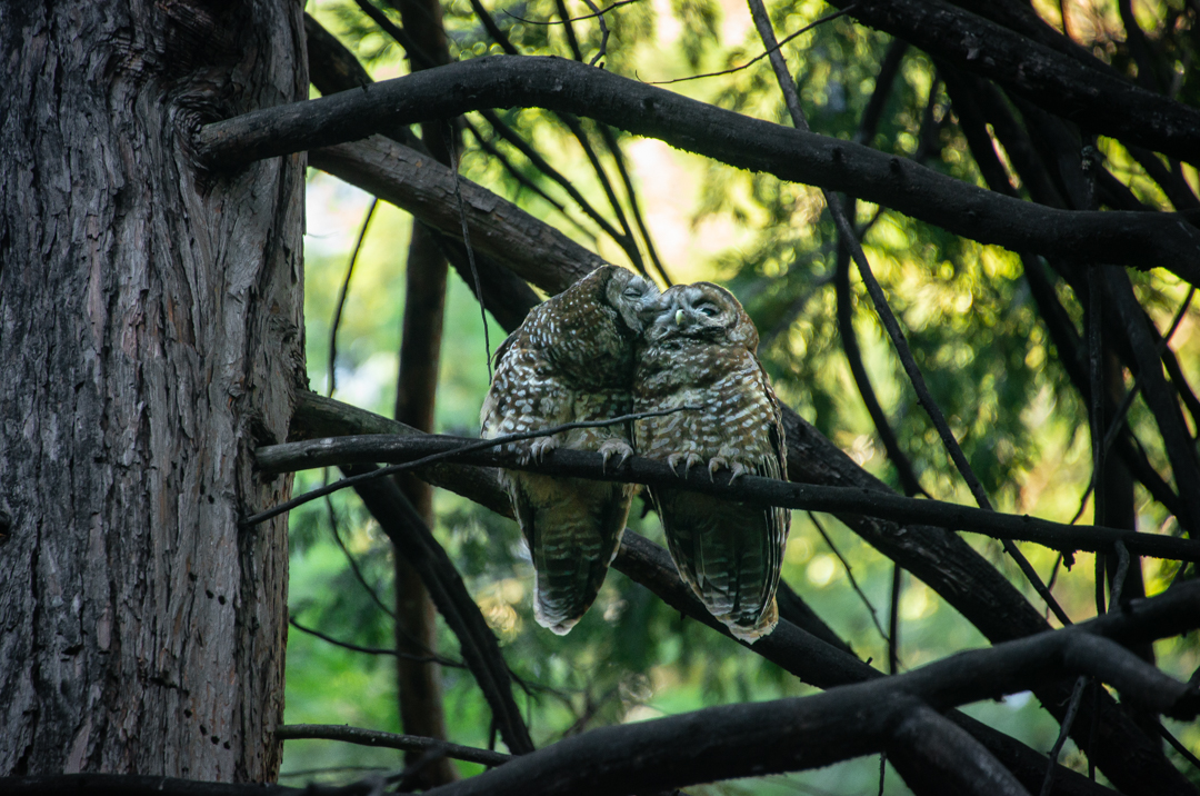 CA Spotted Owl Lovebirds, 2019